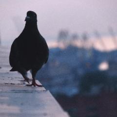 Примета: голубь сел на подоконник за окном