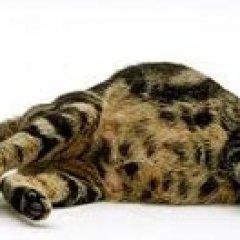 К чему снится кошка по сонникам Фрейда или Лоффа