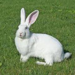 К чему снится белый кролик по сонникам Миллера, Ванги, Фрейда, Цветкова, Лонго