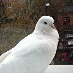 К чему снится голубь и почему голубь — самый благоприятный знак