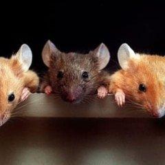К чему снятся мертвые мыши по сонникам Миллера, Ванги, Фрейда, другим трактатам