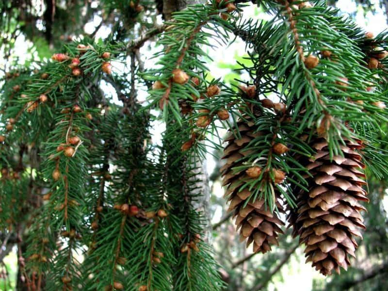 К чему снится елки сажать 70