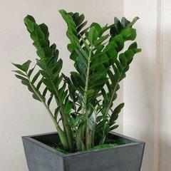 Цветок Замиокулькас & Долларовое дерево: фото и приметы в доме