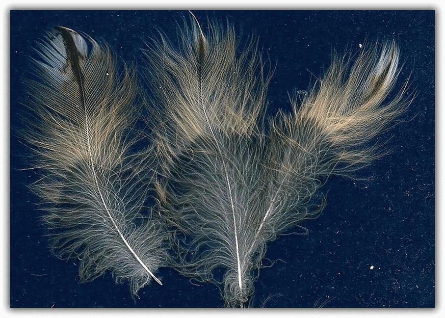 птичьи перья