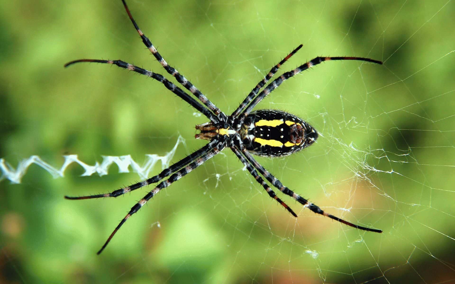большой красивый паук