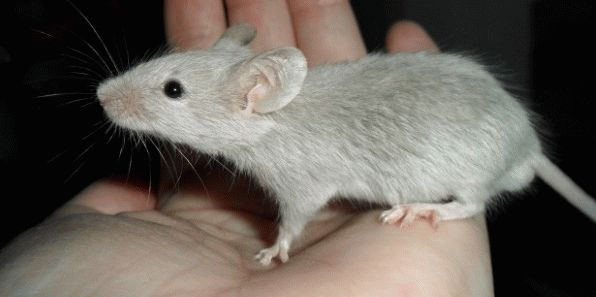 К чему снится маленькая серая мышь?
