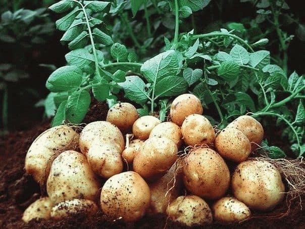 Сонник копал картошку