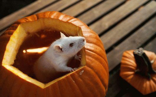 К чему снится белая крыса ?