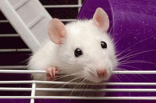 Белая крыса во сне к чему это? Что делать, если приснилась белая крыса?