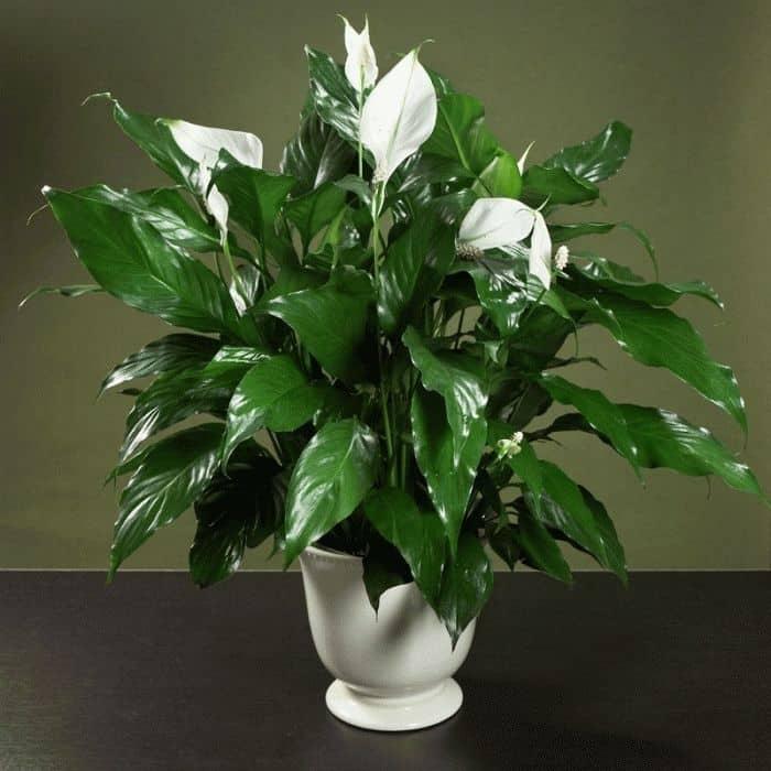 Фото цветка спатифиллум женское