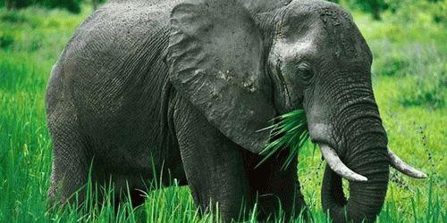 К чему снится слон женщине?