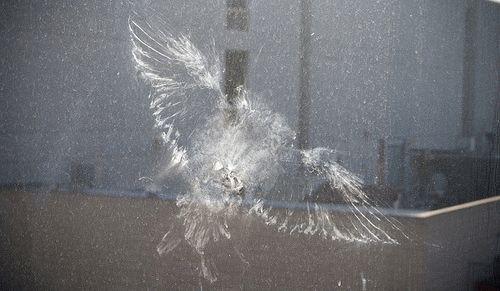 Примета: голубь ударился в окно и улетел