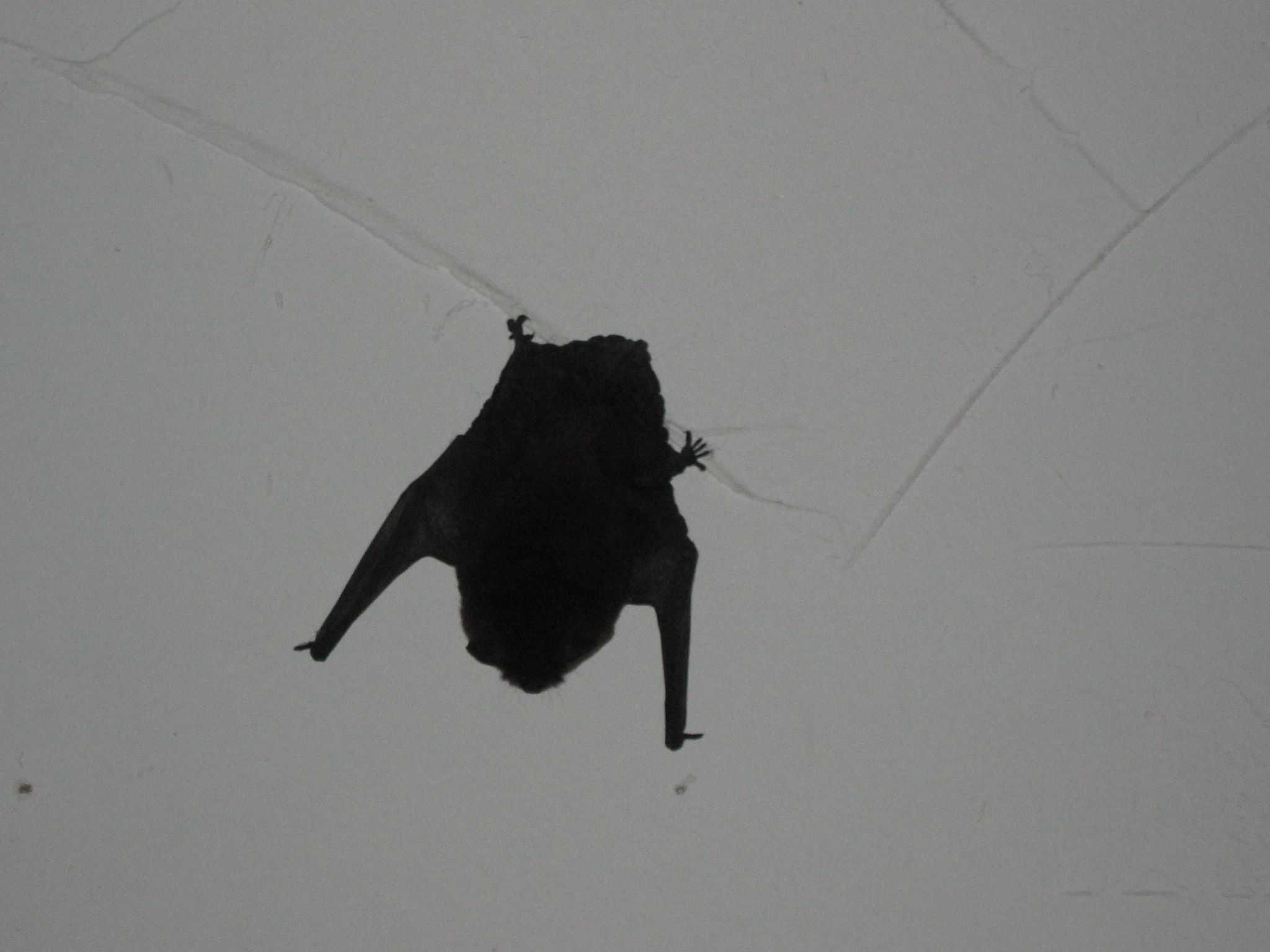 Примета: летучая мышь залетела в квартиру