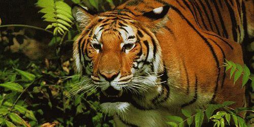 К чему снится тигр женщине сонник