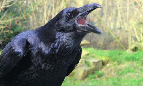 К чему снится черная ворона?