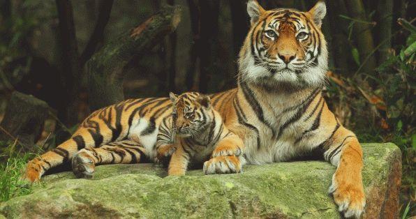 К чему снится тигр во сне?
