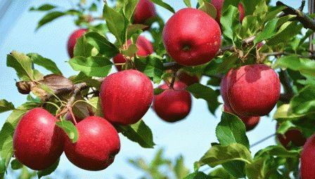 К чему снятся яблоки на дереве?