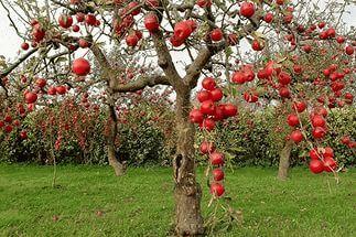 Сонник видела яблоко дерево большое