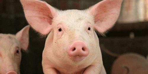 Сонник свинья в доме