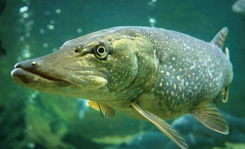 Сонник большие рыбы в мутной воде