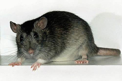 К чему снится крыса которая кусает?