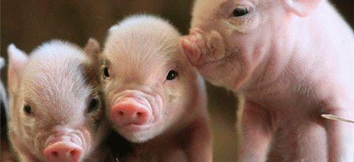 Приснились свиньи с поросятами
