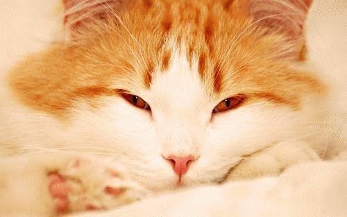 Сонник рыжий котенок гладить