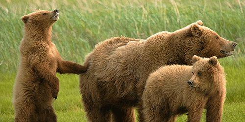 К чему снится медведь замужней женщине?