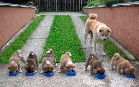 К чему снится много щенков маленьких?
