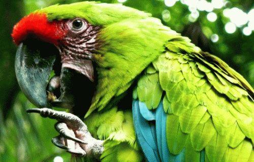 К чему снится попугай женщине?