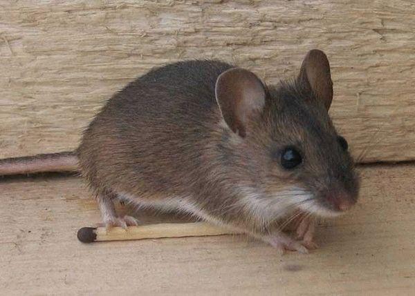 Заговоры против крыс и мышей: устраняем грызунов с помощью магии