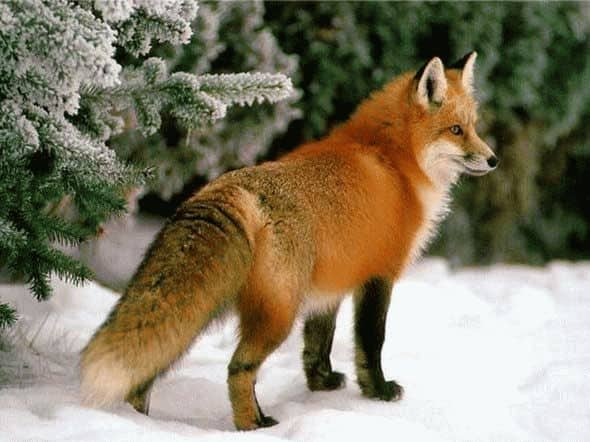 К чему снится рыжая лиса по соннику