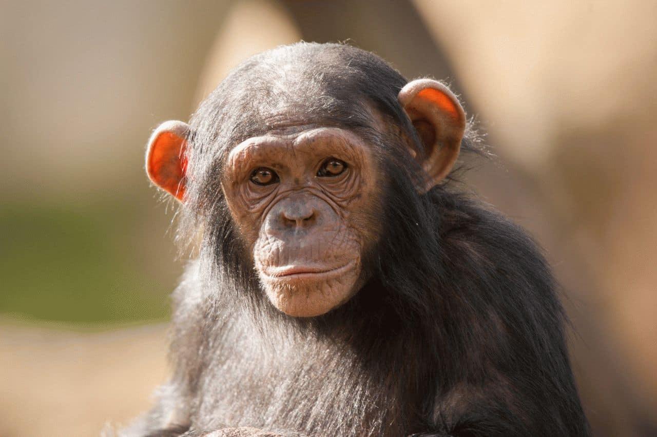 к чему снится обезьяна женщине