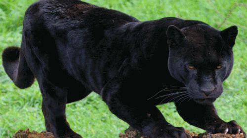 Сонник пантера черная добрая