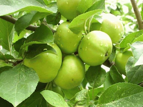 К чему снятся зеленые яблоки?
