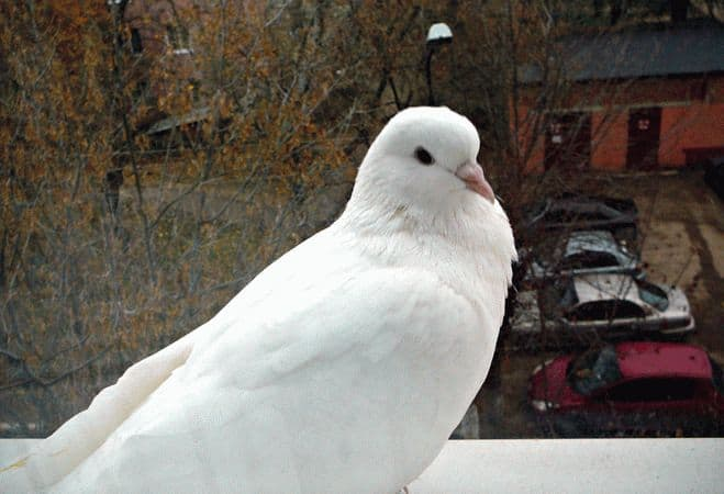 Что означает примета голубь сел на окно