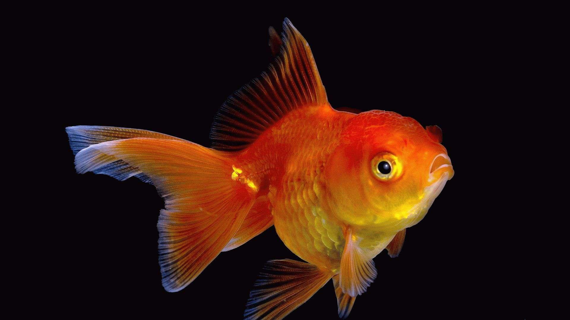 Приснилась золотая рыбка значение сна