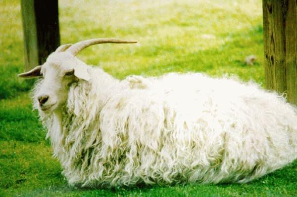 К чему снится белая коза?