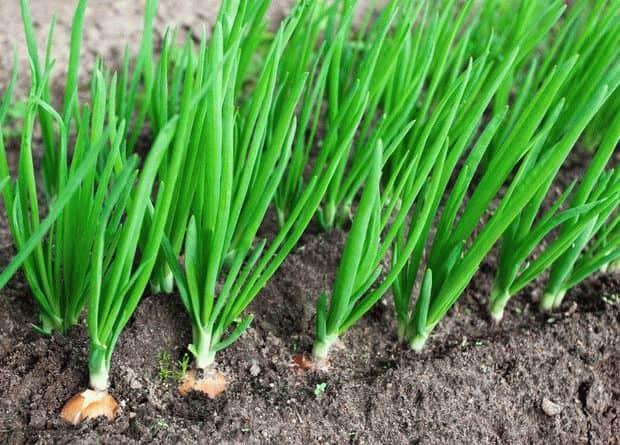 К чему снится зеленый лук?