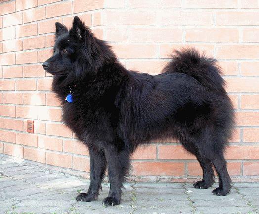 к чему снится большая черная собака