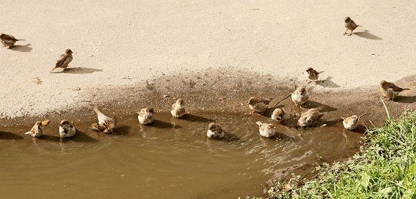 примета - воробьи купаются в луже