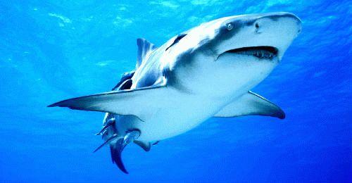 К чему снится акула в воде мужчине фото