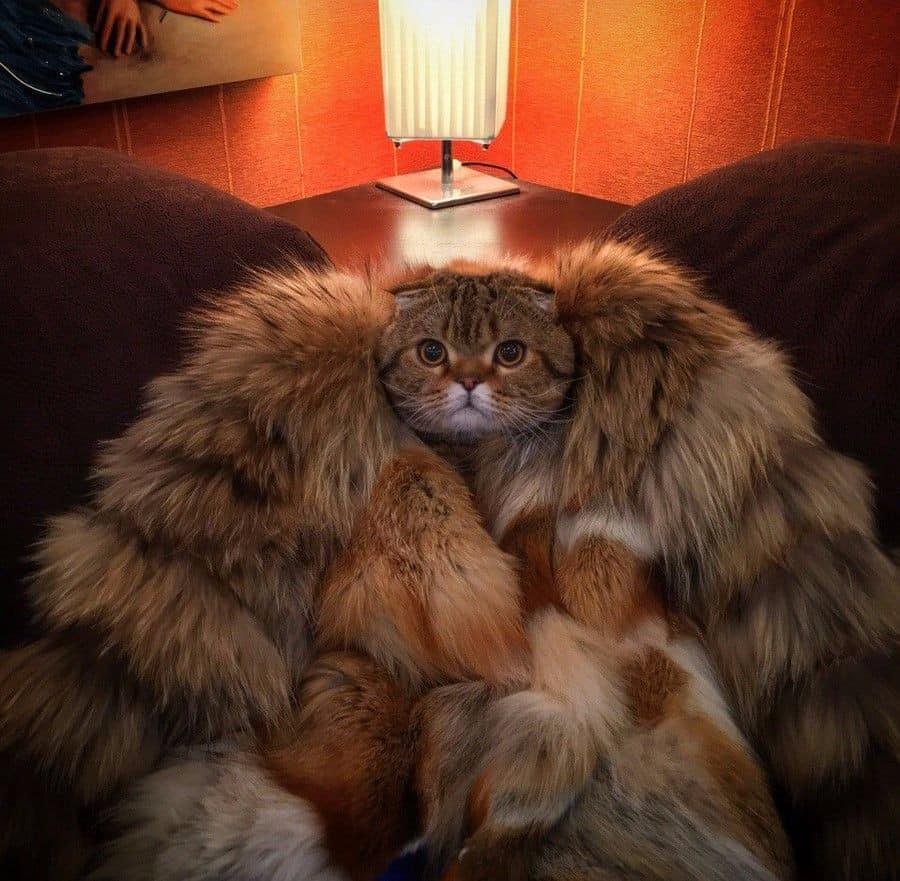 пушистая кошка в шубке