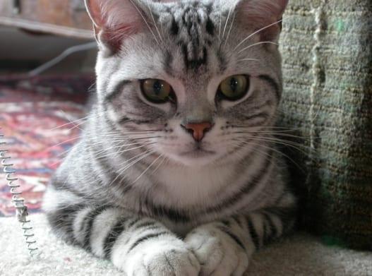 Светлый кот
