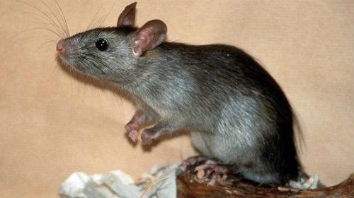 Во сне крыса: толкование по популярным сонникам