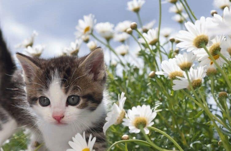 Кот в ромашках