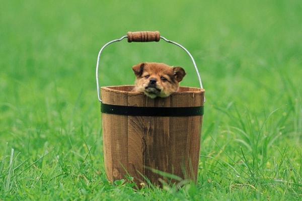 Собачка в ведре