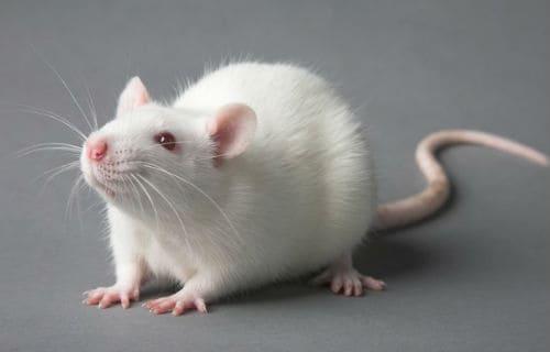 Белая мыша