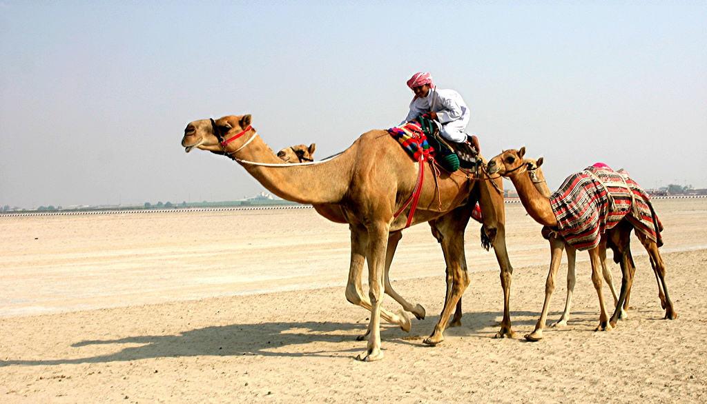 Два верблюда