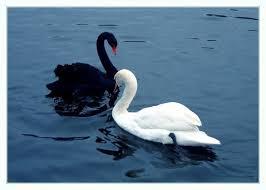 Черный и белый лебедь